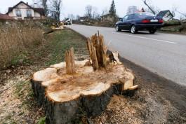 «Машины едут, опилки летят»: почему продолжают вырубать придорожные аллеи в Калининградской области