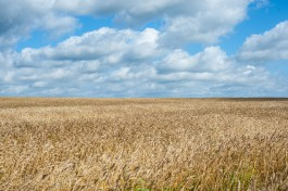 Немецкая компания хочет выращивать лён в Калининградской области