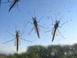 На Куршской косе возле залива появились «тучи» зелёных комаров
