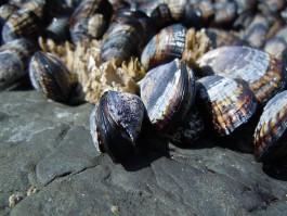 В Калининградскую область не пустили 24 тонны мидий из Чили