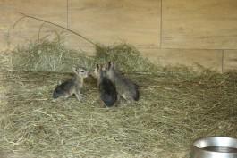 В калининградском зоопарке родились три патагонские мары