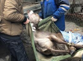 Раненого оленя перевезли из Калининграда в «Подворье на Хуторской»