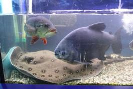 Большого ската Катю перевезли из Музея Мирового океана в Театр эстрады