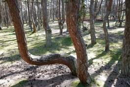 Танцующий лес на Куршской косе закроют из-за реконструкции экотропы