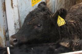 Житель области через суд требует от владелицы коровы денег за повреждённую в ДТП машину