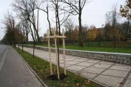 На Гвардейском проспекте в Калининграде высадили пять каштанов вдоль дороги