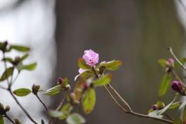 В Ботаническом саду Калининграда на две недели раньше срока зацвёл рододендрон