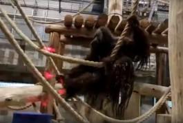 В калининградский зоопарк привезли 13-летнего орангутана из Дании