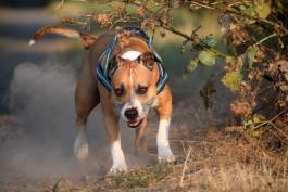 Жительница Гусева натравила бойцовскую собаку на прохожего из-за его замечания
