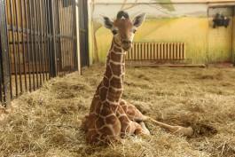 В калининградском зоопарке родился жирафёнок