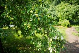 Минсельхоз: Урожай местных яблок продали калининградским торговым сетям и переработчикам