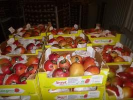 В Калининградской области уничтожили тонну санкционных манго из Португалии