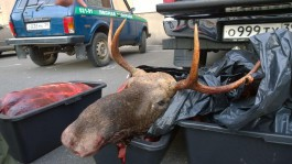 В Калининграде задержали машину с тушами восьми косуль, двух кабанов и лося