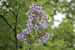 В Ботаническом саду Калининграда впервые зацвело дерево Павлония