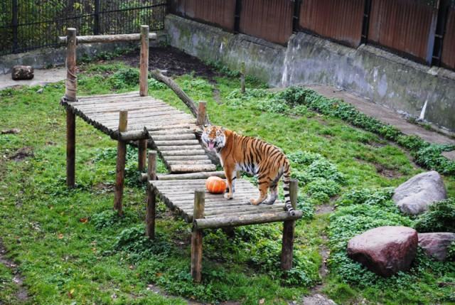 Работники зоопарка вКалининграде провели учения поотлову тигра