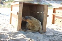 На Куршской косе выпустили в море двух спасённых тюленей