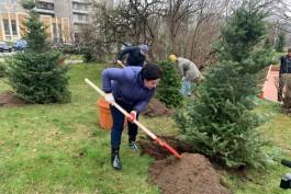 В Калининграде начали высаживать «новогодние» пихты
