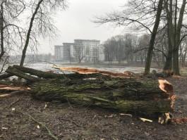 Прокуратура выявила нарушения закона при вырубке деревьев в Южном парке Калининграда