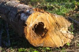 Под Славском браконьеры вырубили деревья на сумму более 680 тысяч рублей