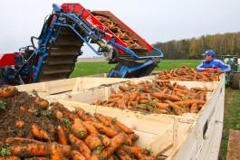 «Морковное будущее и спасительная кукуруза»: как Антон Алиханов сбор урожая проверял