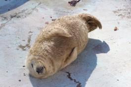 В калининградском зоопарке родились два детёныша балтийского тюленя