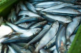 Региональные власти планируют добиться увеличения квот на вылов рыбы в Балтийском море