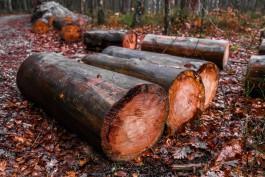 Калининградские приставы пытаются взыскать с арендатора лесов 19,8 млн рублей за незаконную вырубку