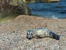 Калининградский зоопарк решил в этом году не брать тюленей на реабилитацию