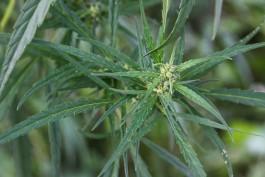 Полицейские поймали 19-летнего жителя области на продаже марихуаны