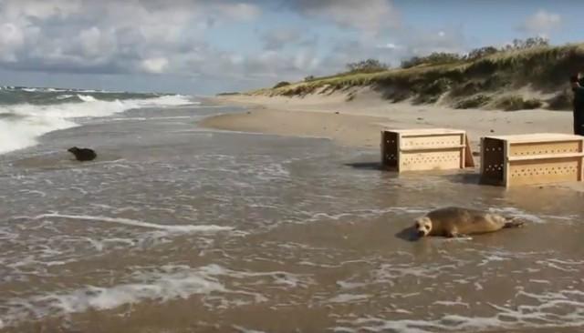 Уплыли, неиспугавшись волн: Калининградский зоопарк выпустил вморе 2-х тюленят