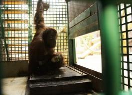 В зоопарке Калининграда орангутанов учат взвешиваться