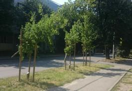 На улице Батальной в Калининграде вандалы срубили высаженные год назад грабы