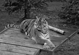 В калининградском зоопарке умерла тигрица Таня