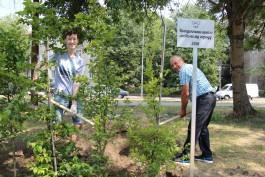 Рядом с Южным парком в Калининграде высадили аллею из грабов