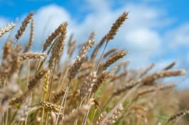 Россельхознадзор «забраковал» 34 тысячи тонн калининградской пшеницы на экспорт