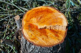 Жителя Славского округа задержали за незаконную вырубку 37 деревьев