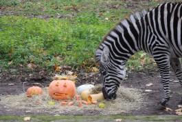В калининградском зоопарке умер единственный самец зебры