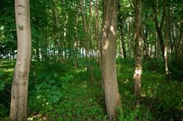 В новом проекте генплана Калининграда весь Суздальский лес отнесли к зелёной зоне