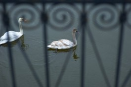 В Клайпеде установили дорожные знаки, предупреждающие о лебедях
