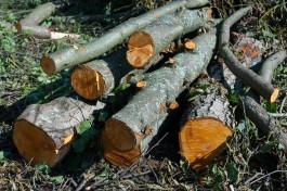 В Калининграде разрешили вырубить 67 деревьев в зоне исторической застройки на улице Чайковского