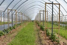 Под Зеленоградском заложили плантацию малины