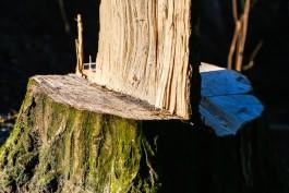 Жителю области грозит до десяти лет колонии за вырубку 52 деревьев на 1,2 млн рублей